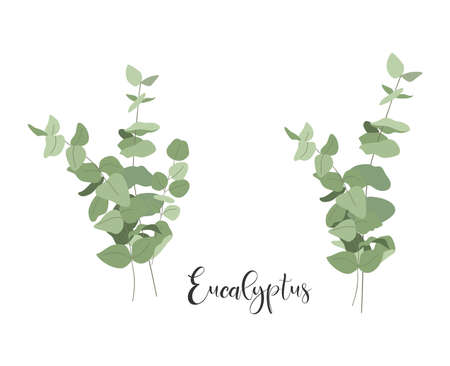 Set of isolated bouquets of eucalyptus. Vector