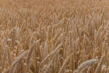Texture background wheat field
