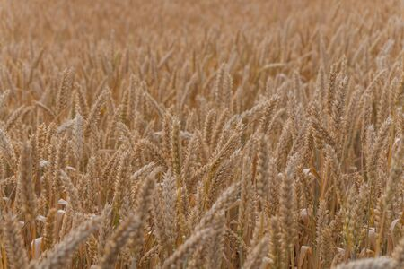 Ears of wheat in a wheat field, texture, background