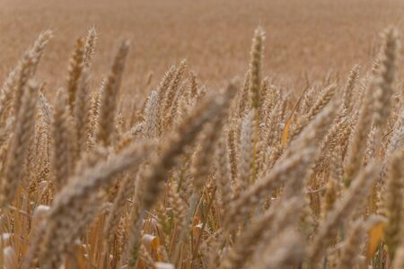 Wheat ears close-up, background, texture 版權商用圖片