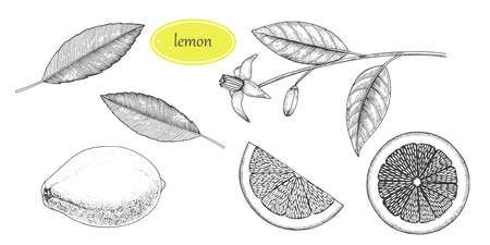 Hand drawn lemon set. Whole lemon, sliced pieces, half sketch. Fruit engraved style illustration. Detailed citrus drawing. Great for water, juice, detox drink, tea, natural cosmetics.