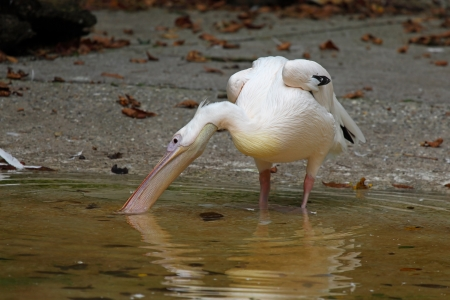 pelecanidae: Pelicans are a genus of large water birds comprising the family Pelecanidae
