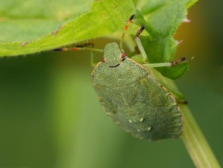 insecta: Bedbug sits on a leaf  Insecta  Hemiptera  Pentatomidae  Palomena prasina