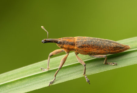 insecta: Beetle sits on the grass  Insecta  Coleoptera  Curculionidae  Lixus iridis  Stock Photo
