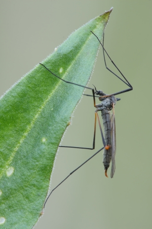 insecta:  Mosquito sits on a leaf  Insecta Pterygota Diptera Tipulidae  Stock Photo