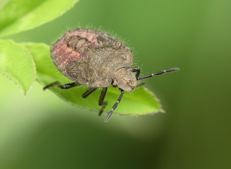 insecta: Bedbug sits on a leaf  Insecta   Hemiptera   Pentatomidae Dolycoris baccarum Stock Photo