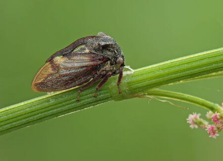 Insecta  Coleoptera  Mordellidae� Treehopper sits on a blade of grass  photo