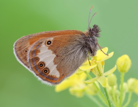 insecta: Insecta     Lepidoptera     Satyridae     Coenonympha arcania  Butterfly sits on a flower  Stock Photo