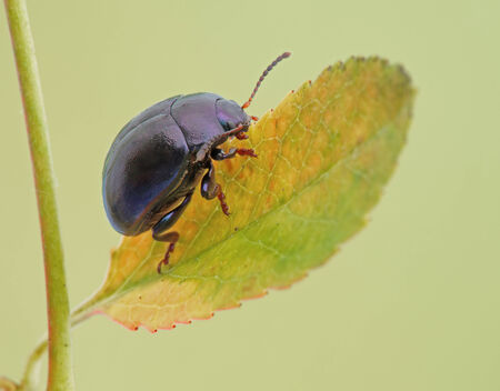 insecta: Beetle sits on a leaf  Insecta   Coleoptera   Chrysomelidae    Chrysolina sturmi   Stock Photo