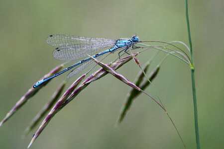 insecta: Dragonfly sits on a blade  Insecta  Odonata   Coenagrionidae   Enallagma cyathigerum  Stock Photo