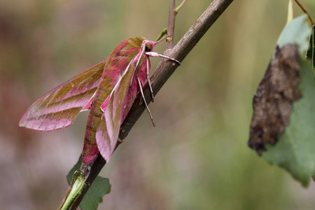 Deilephila elpenor, known as the Elephant Hawk-moth, is a large moth of the Sphingidae family  Stock Photo