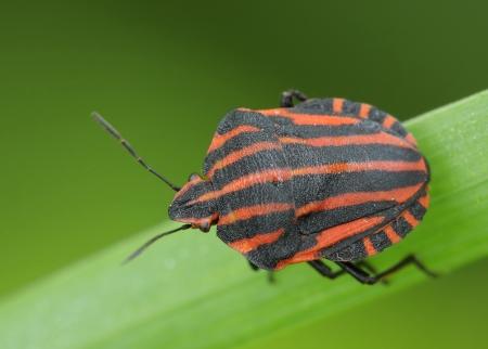 insecta:  Bedbug sits on a grass   Insecta   Hemiptera   Pentatomidae   Graphosoma lineatum