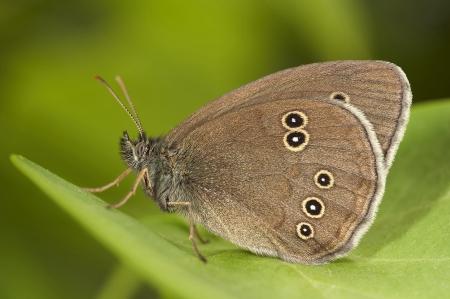hyperantus: Butterfly on a green sheet Aphantopus hyperantus Linnaeus, 1758