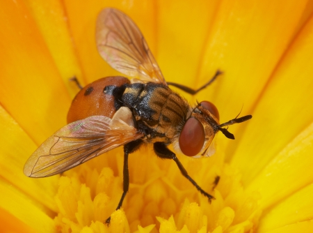 insecta: An orange fly sits on a yellow flower  Insecta   Diptera   Tachinidae