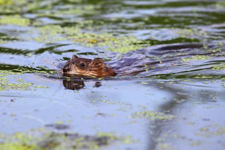 muskrat: The muskrat  Ondatra zibethicus  Stock Photo