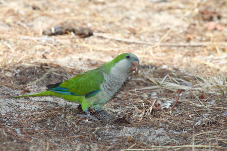 quaker: The monk parakeet (Myiopsitta monachus), also known as the quaker parrot, is a species of parrot and, in most taxonomies, the only member of the genus Myiopsitta.