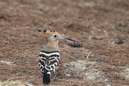 extant: The hoopoe (Upupa epops) is a colourful bird found across Afro-Eurasia, notable for its distinctive \crown\ of feathers. It is the only extant species in the family Upupidae.  The hoopoe is the national bird of Israel.