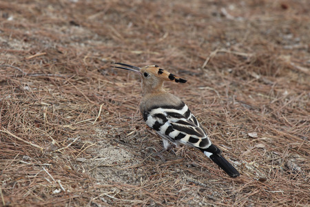 """extant: La abubilla (Upupa epops) es un p�jaro colorido encontrado en toda Afro-Eurasia, notable por su distintivo  """"corona """" de plumas. Es la �nica especie existente en la familia Upupidae. La abubilla es el p�jaro nacional de Israel."""