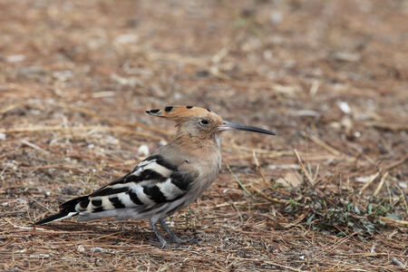 notable: The hoopoe (Upupa epops) is a colourful bird found across Afro-Eurasia, notable for its distinctive crown of feathers.
