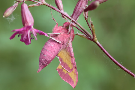 Deilephila elpenor known as the Elephant Hawkmoth is a large moth of the Sphingidae family.