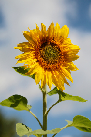 helianthus: Helianthus annuus, the common sunflower, is a large annual forb of the genus Helianthus grown as a crop for its edible oil and edible fruits sunflower seeds. Stock Photo