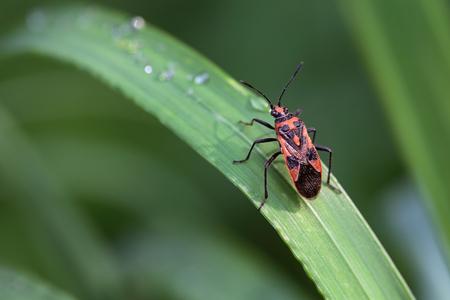 insecta: Bedbug sits on a blade of grass. Insecta Hemiptera Pyrrhocoridae Pyrrhocoris apterus Stock Photo
