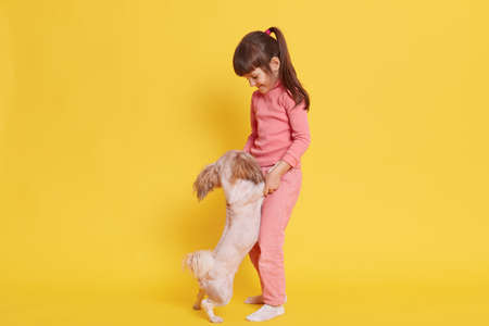 Little girl stands against yellow wall with her favorite pet, cute female child holding Pekingese paws, small kid with pony tail plays with puppy indoor.