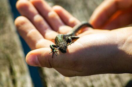 lizard sits on hand and basks in the sun 版權商用圖片