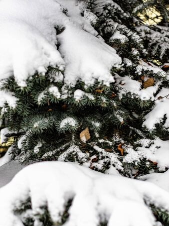 Beautiful green spruce branch under the white snow. Spruce branch on winter day. Фото со стока - 135333507