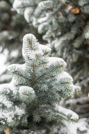 Beautiful green spruce branch under the white snow. Spruce branch on winter day. Фото со стока - 137183843