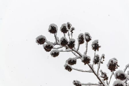 a sprig of plants under the snow against the white sky Фото со стока - 138096227