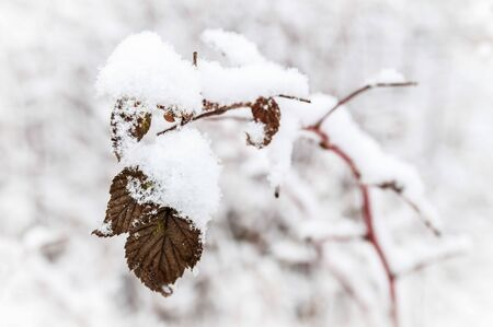 a sprig of plants under the snow on white background