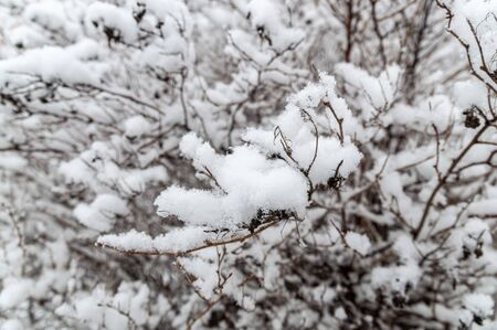 Fluffy snow on tree branches. Branches of bushes in the snow in winter day