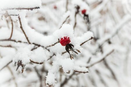 Beautiful red rosehip berries with hoar frost Фото со стока - 138096253