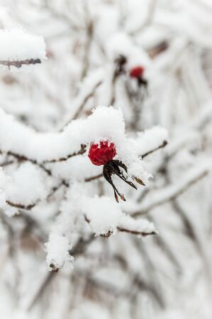 Beautiful red rosehip berries with hoar frost Banque d'images