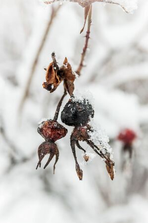 dried and blackened rosehip berry with hoar frost