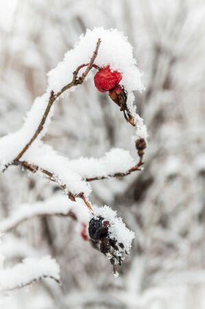 Beautiful red rosehip berries with hoar frost Фото со стока