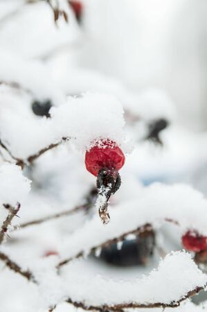 Beautiful red rosehip berries with hoar frost Фото со стока - 138096631
