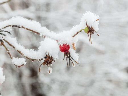 Beautiful red rosehip berries with hoar frost Фото со стока - 138097343