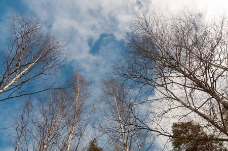 background with birches against the sky with clouds.