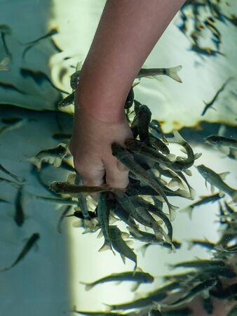 Fish Garra rufa treated hand in the aquarium Stockfoto