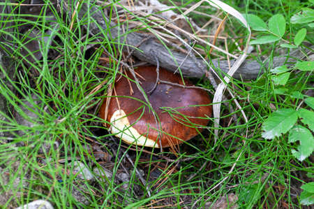 Suillus in the autumn forest. Edible mushroom among the grass