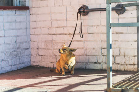 Little funny dog tied by a leash and waiting for the owner Фото со стока - 157231130
