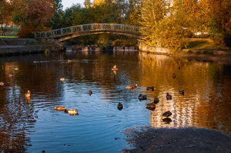 autumn landscape with a pond with ducks and a bridge over it Фото со стока