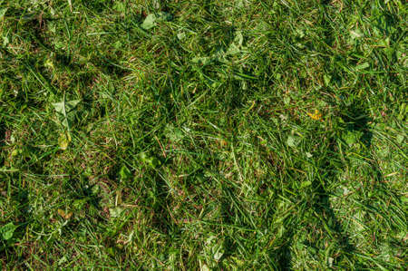 abstract background with mown grass. The texture of the lawn after a lawn mower