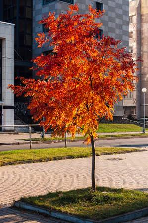 beautiful little Rowan tree with bright red foliage. Autumn tree in the city Фото со стока