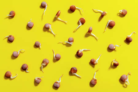 lentil sprouts on the bright yellow background