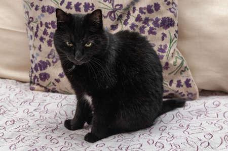Black beautiful Kurilian Bobtail cat sitting on the sofa Фото со стока