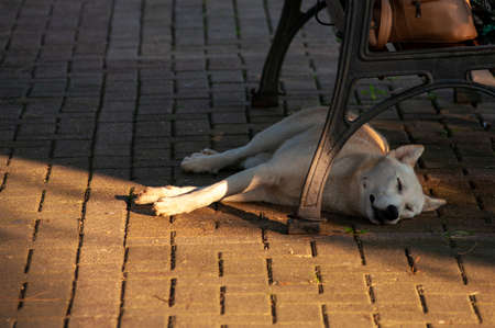A white dog sleeps under a bench.