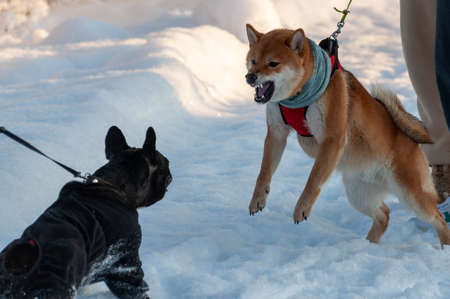 The young Shiba Inu bared his teeth and charged at the other dog. High quality photo